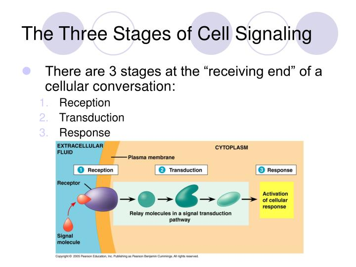 The Three Stages of Cell Signaling