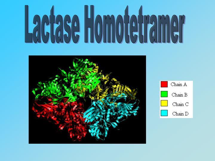 Lactase Homotetramer