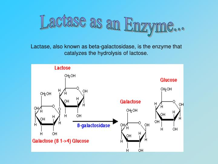 Lactase as an Enzyme...
