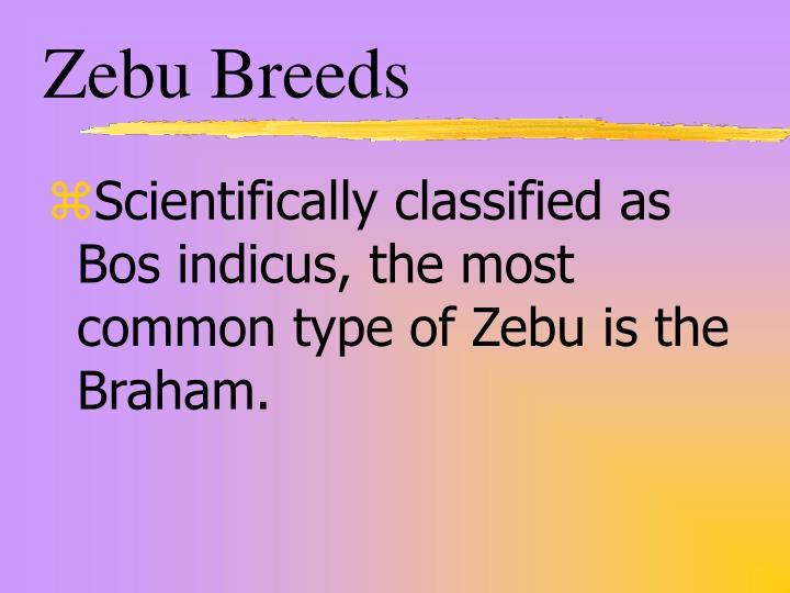 Zebu Breeds