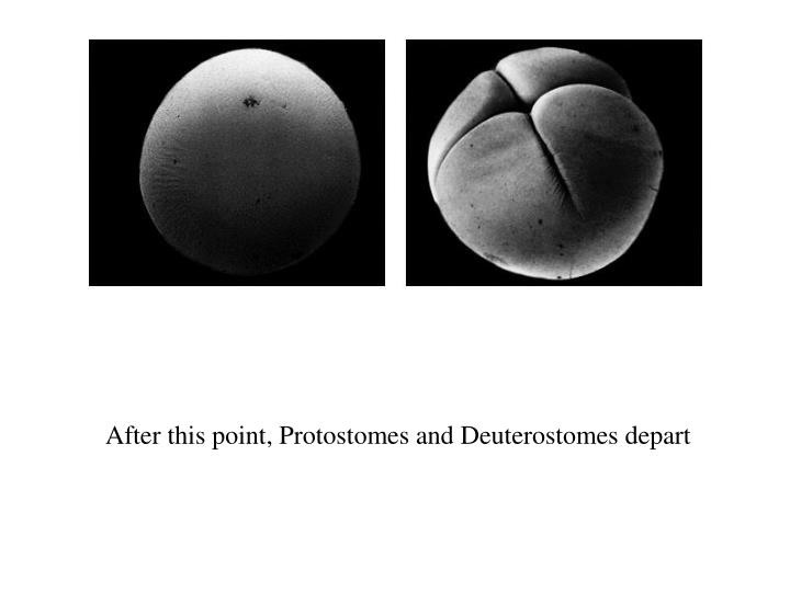 After this point, Protostomes and Deuterostomes depart
