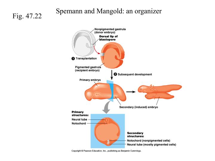 Spemann and Mangold: an organizer