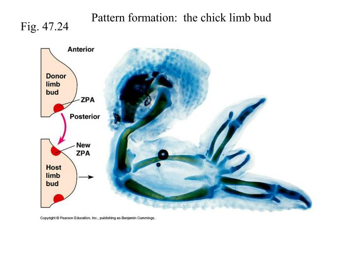 Pattern formation:  the chick limb bud