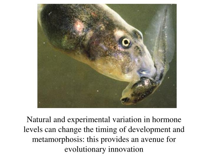 Natural and experimental variation in hormone levels can change the timing of development and metamorphosis: this provides an avenue for evolutionary innovation