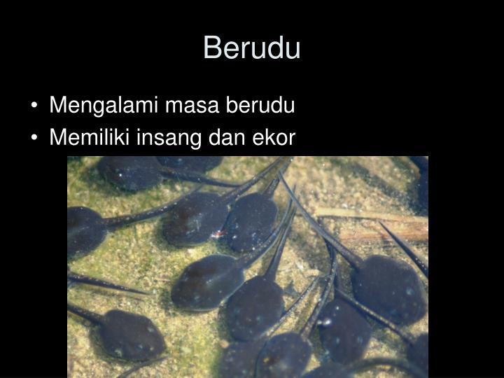 Berudu