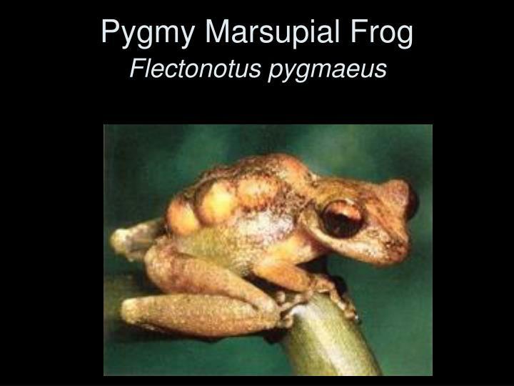 Pygmy Marsupial Frog
