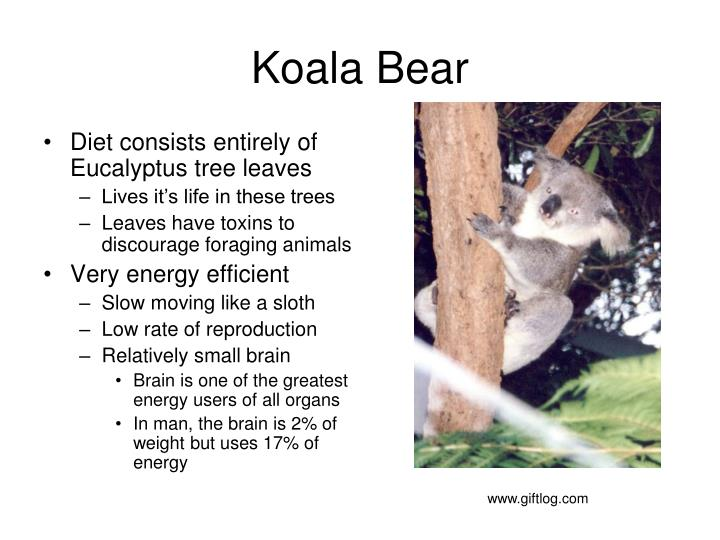 Diet consists entirely of Eucalyptus tree leaves