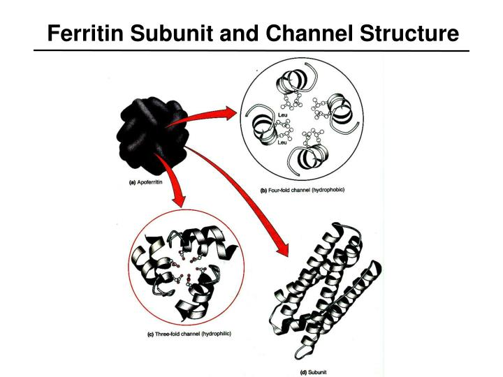 Ferritin Subunit and Channel Structure