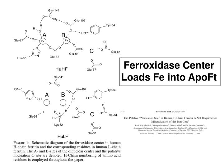 Ferroxidase Center Loads Fe into ApoFt