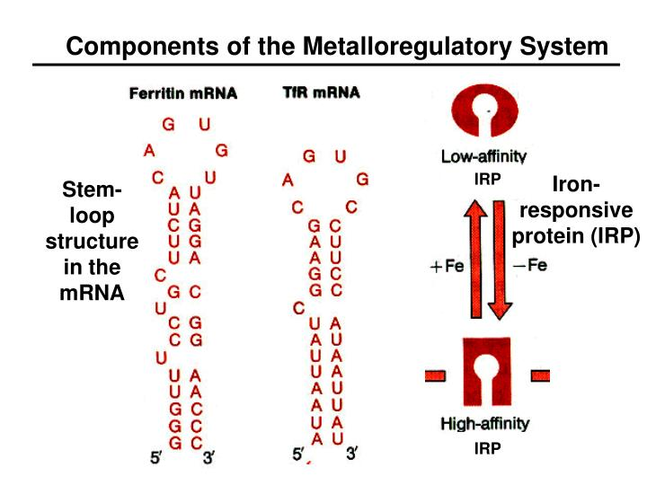Components of the Metalloregulatory System