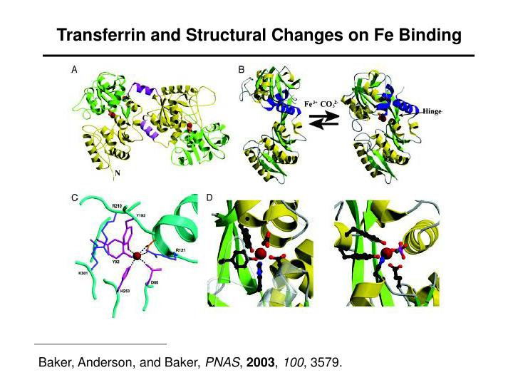 Transferrin and Structural Changes on Fe Binding