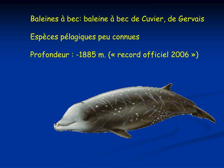 Baleines à bec: baleine à bec de Cuvier, de Gervais