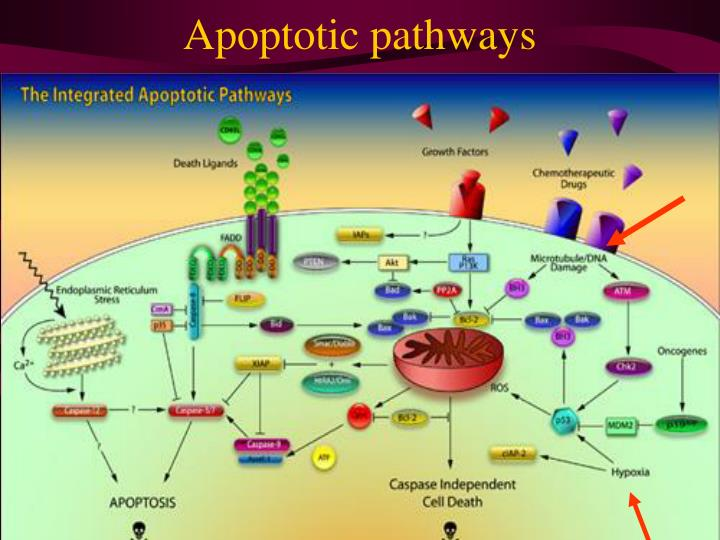 Apoptotic pathways