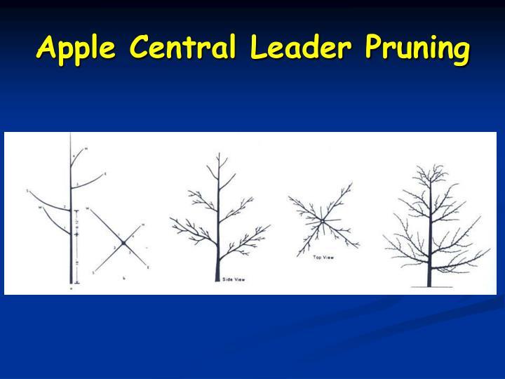 Apple Central Leader Pruning