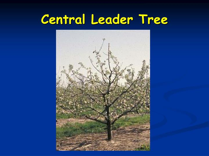 Central Leader Tree