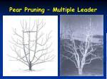 pear pruning multiple leader3