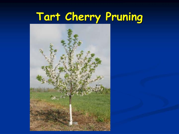 Tart Cherry Pruning