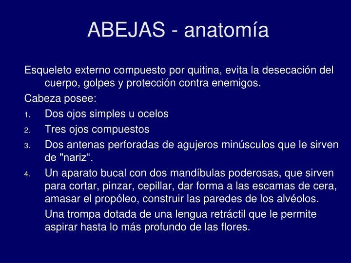 ABEJAS - anatomía