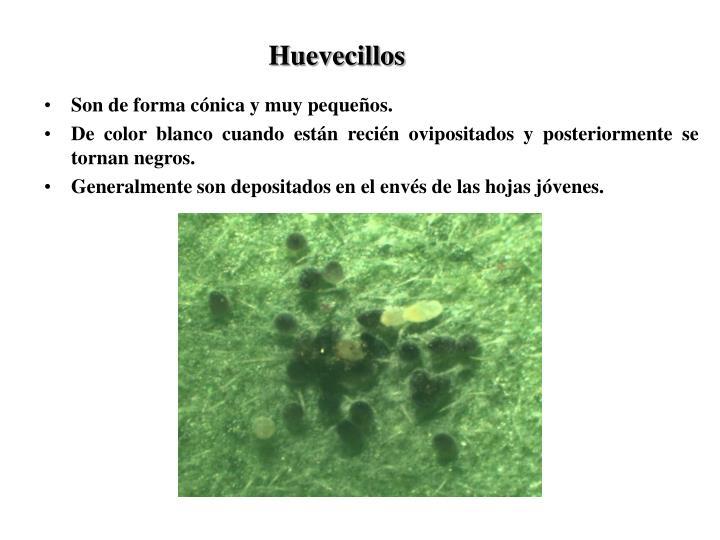 Huevecillos