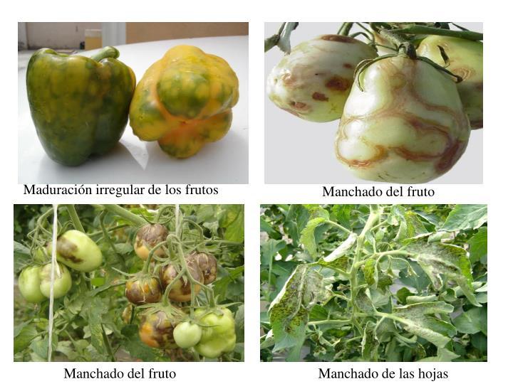 Maduración irregular de los frutos