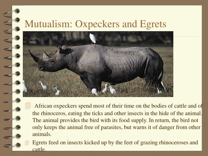 Mutualism: Oxpeckers and Egrets