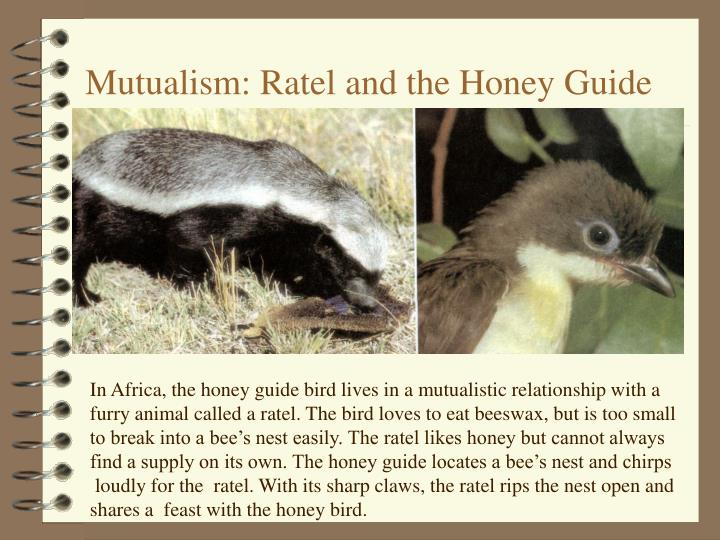 Mutualism: Ratel and the Honey Guide