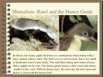mutualism ratel and the honey guide