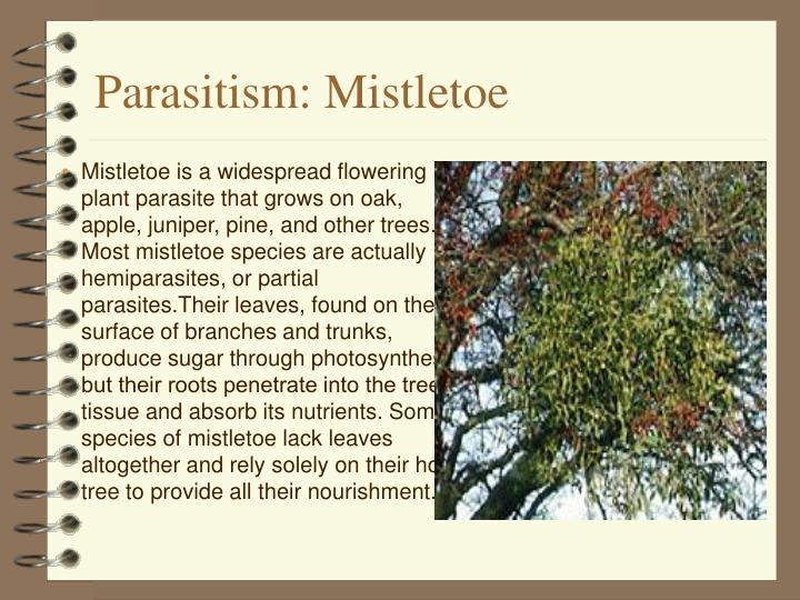 Parasitism: Mistletoe