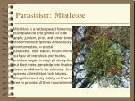 parasitism mistletoe