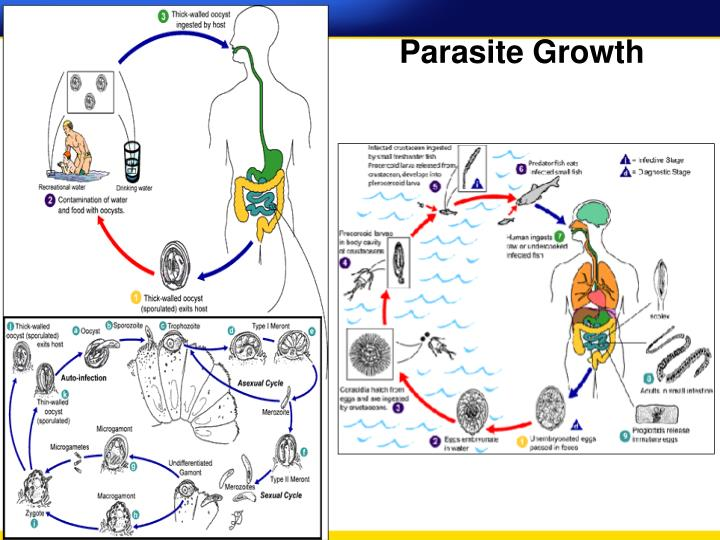 Parasite Growth
