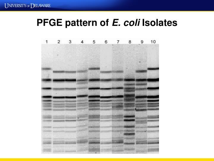 PFGE pattern of