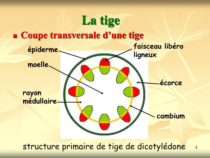 Ppt les angiospermes powerpoint presentation id 5430142 - Coupe transversale tige dicotyledone ...