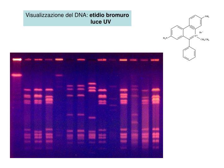 Visualizzazione del DNA: