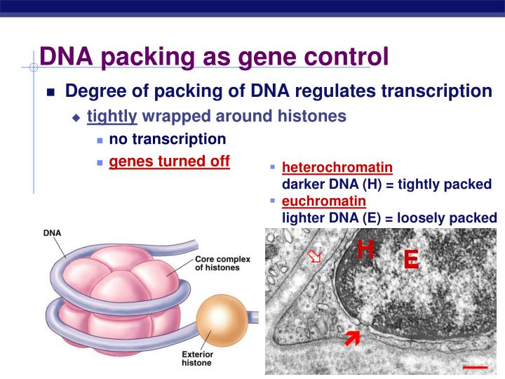 DNA packing as gene control