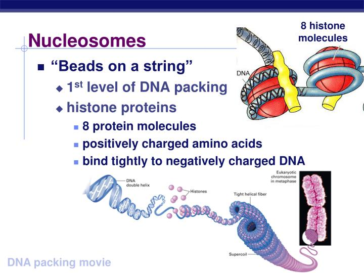 8 histone molecules
