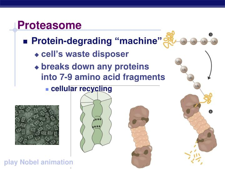 Proteasome
