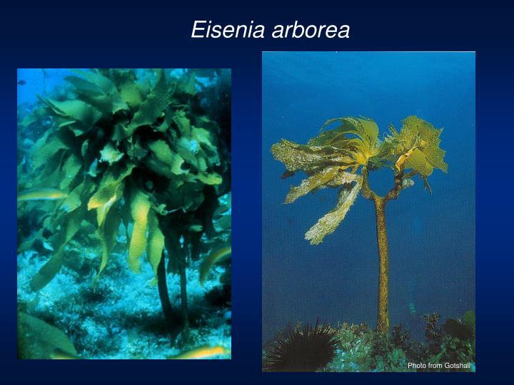 Eisenia arborea
