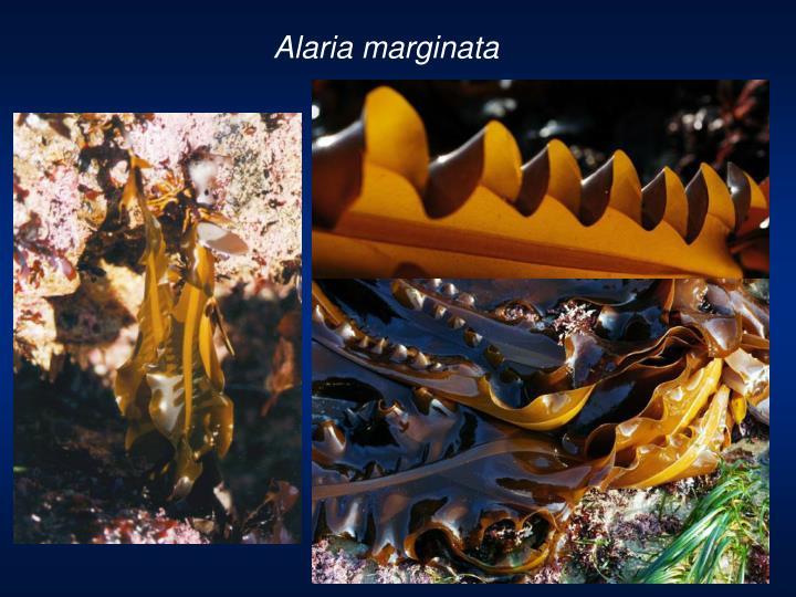 Alaria marginata