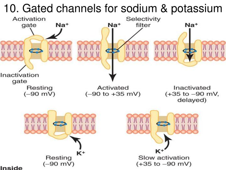 10. Gated channels for sodium & potassium