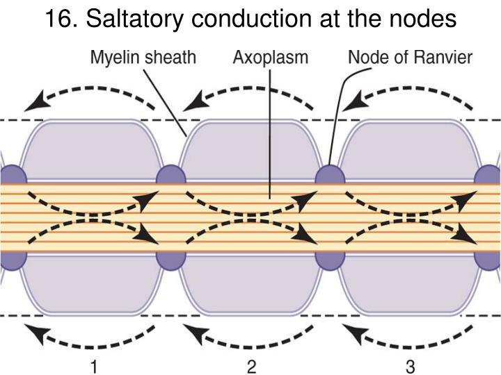 16. Saltatory conduction at the nodes