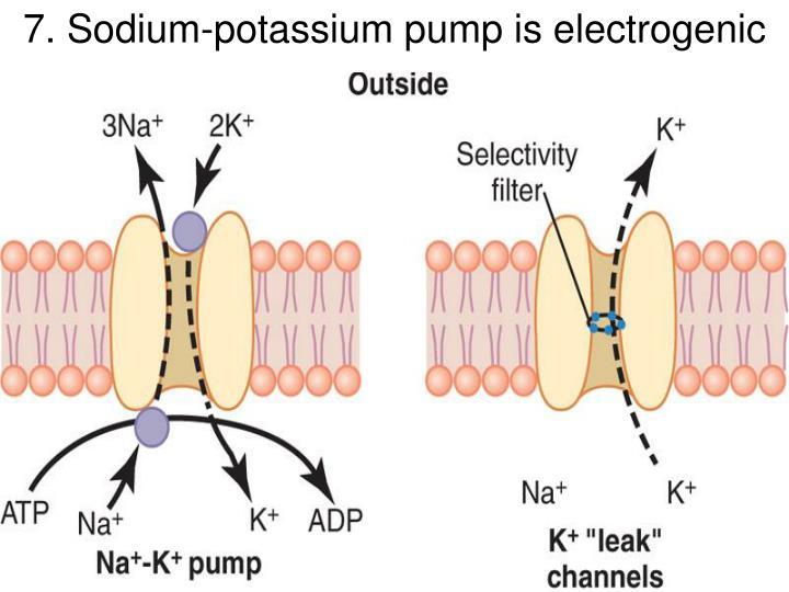 7. Sodium-potassium pump is electrogenic