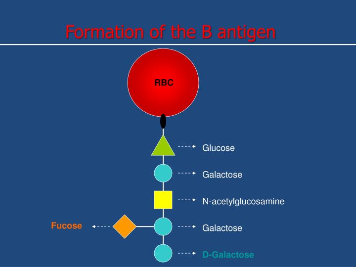 Formation of the B antigen