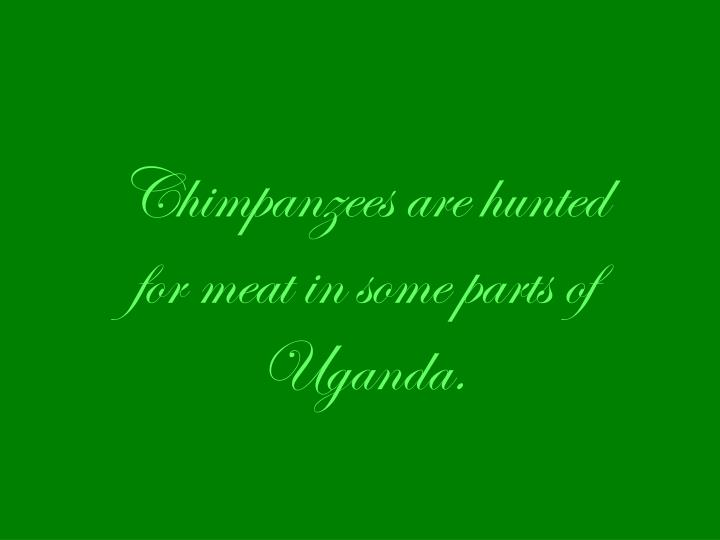Chimpanzees are hunted for meat in some parts of Uganda.