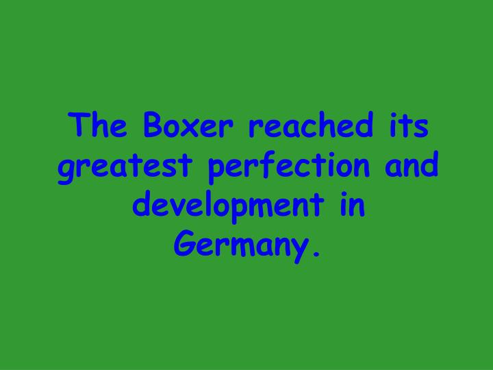 The Boxer reached its greatest perfection and development in Germany.