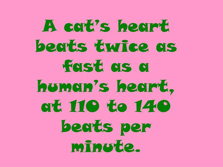 A cat's heart beats twice as fast as a human's heart,