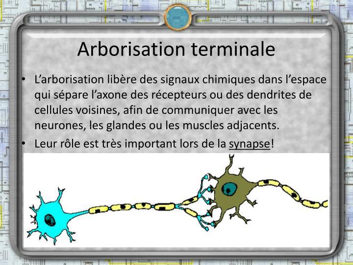 Arborisation terminale