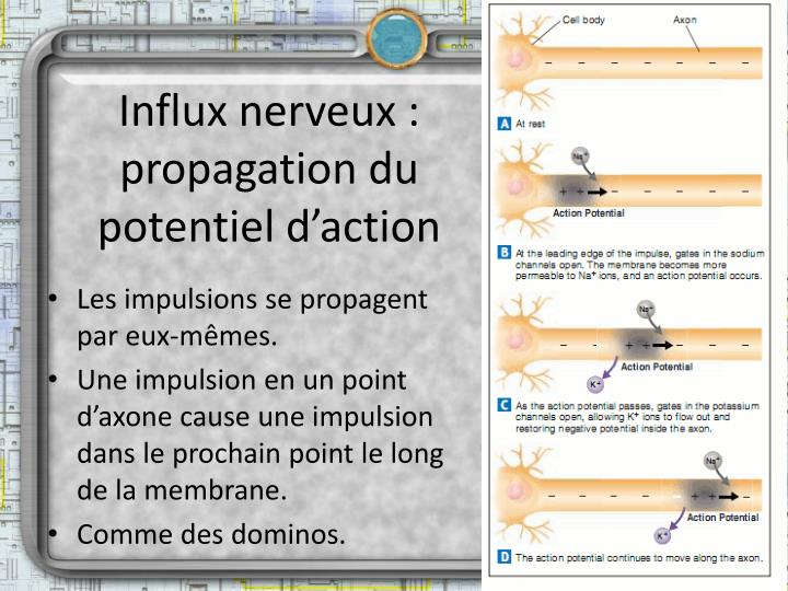 Influx nerveux : propagation du potentiel d'action