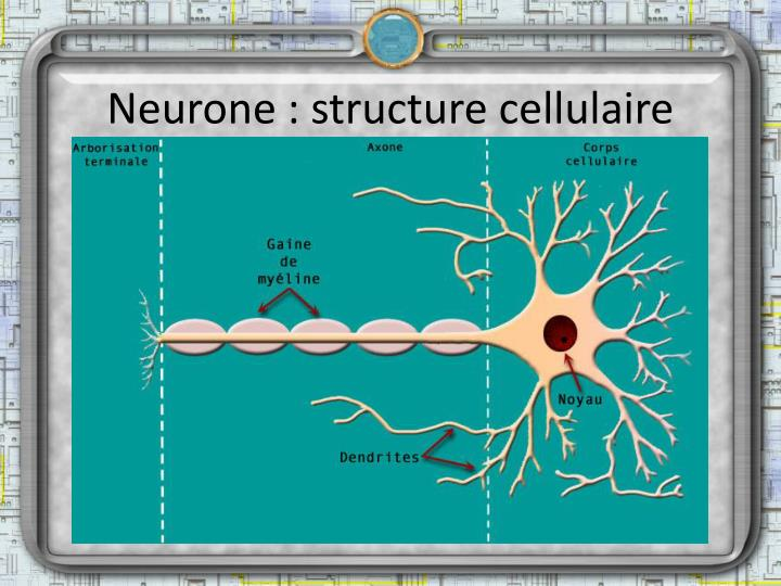 Neurone : structure cellulaire