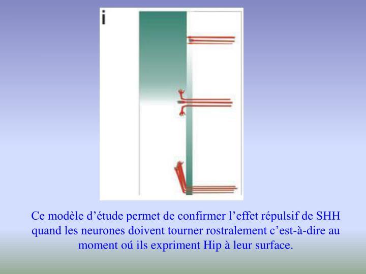 Ce modèle d'étude permet de confirmer l'effet répulsif de SHH quand les neurones doivent tourner rostralement c'est-à-dire au moment o