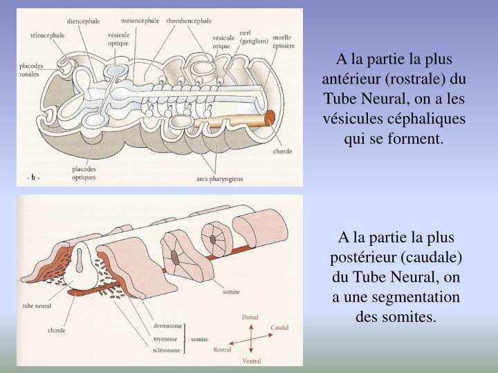 A la partie la plus antérieur (rostrale) du Tube Neural, on a les vésicules céphaliques qui se forment.